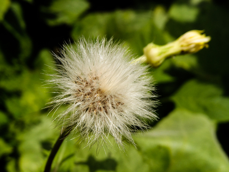 Dandelion in my garden.