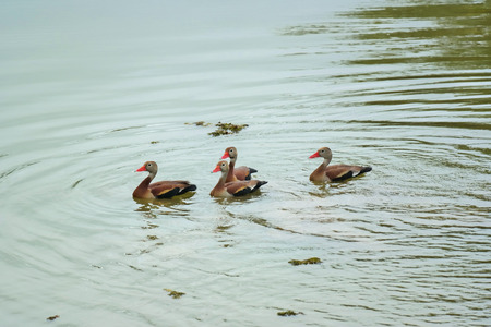 Family of ducks on a lake