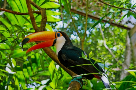 Toucan in a park in Foz do Iguaçu