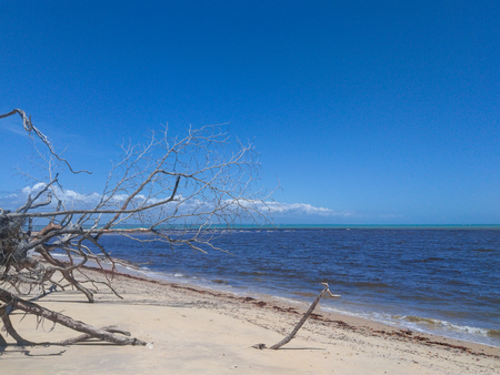 Dead tree and beach (idyllic scene in Prado - Bahia - Corumbau)