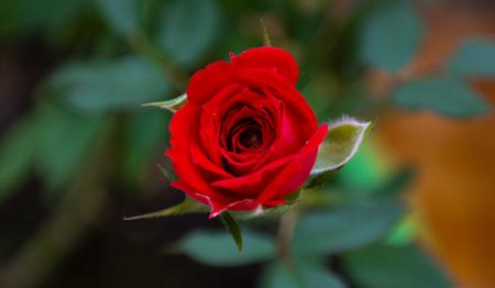 Red rose detail Imagens - 106699830