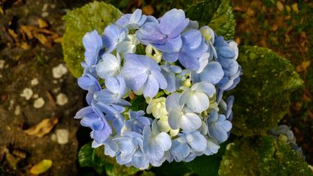 Blue flowers in the garden (Hydrangea - Hydrangea) Foto de archivo - 109435420