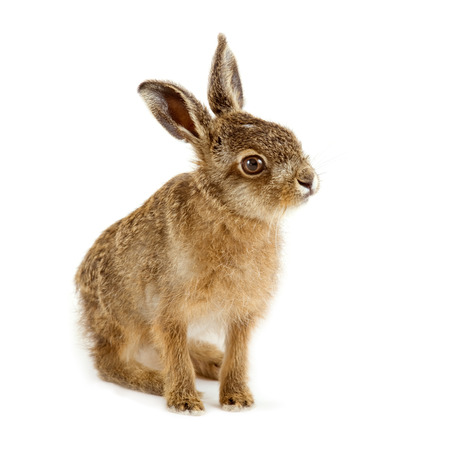 Young hare isolated on white background Imagens