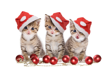 kitten small white: Christmas, three kitten with Santa cap on white background