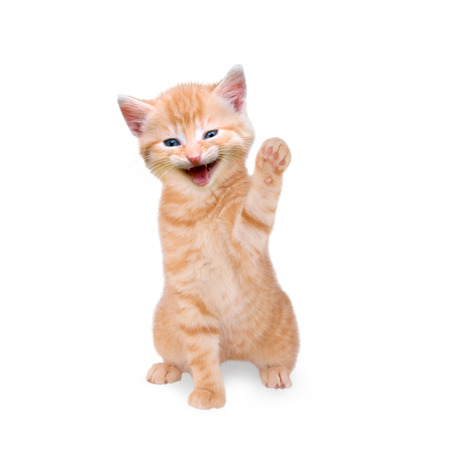kitten laughs and waving isolated on white background