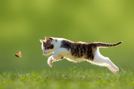 domestic cat: young cat hunting butterfly on a meadow backlit Stock Photo