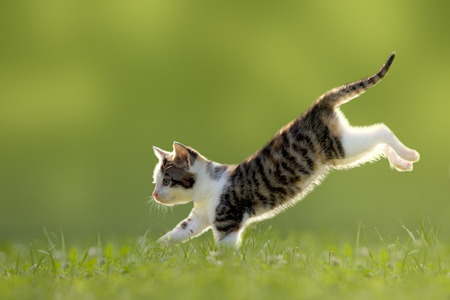 Young cat jumps over a meadow in the backlit photo