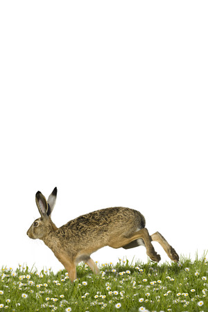 Easter bunny running across a field of flowers photo