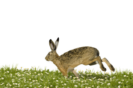 runs: Easter bunny running across a field of flowers Stock Photo