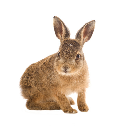 Young hare 3 weeks old isolated on white background
