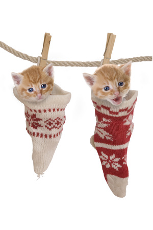 Cat, kitten hanging in socks on clothesline photo