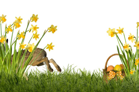 optional: Easter bunny on meadow with daffodils, optional on white background