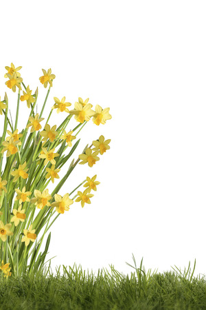 optional: Daffodils on green meadow, optional on white background