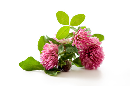 teas: Clover, red clover medicinal plant isolated on white background