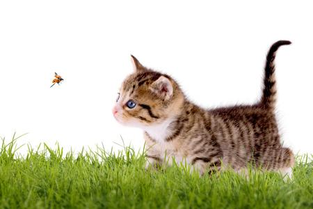 Jonge kat met lieveheersbeestje op een groen veld, geïsoleerd op een witte achtergrond Stockfoto