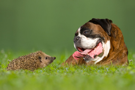 Dog   Boxer and hedgehogs look at each other