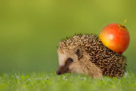 stingers: Hedgehog with apple on the backs in green meadow Stock Photo