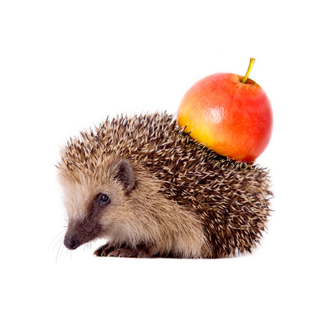 stingers: Hedgehog with apple on her back isolated on white background