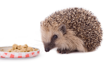 stingers: hedgehog, Erinaceus europaeus, isolated on white background Stock Photo