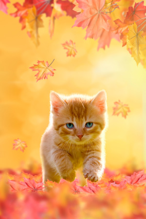 Young cat with blue eyes, playing in autumn leaves photo