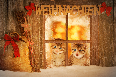 curiously: Two young kitten looking curiously out of a window with christmas decoration