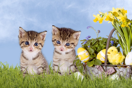 Cats, Easter, with daffodils on grass with blue sky Imagens