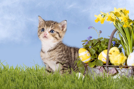 Cats, Easter, with daffodils on grass with blue sky Archivio Fotografico