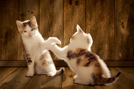 bluster: two kittens are playing on a wooden floor