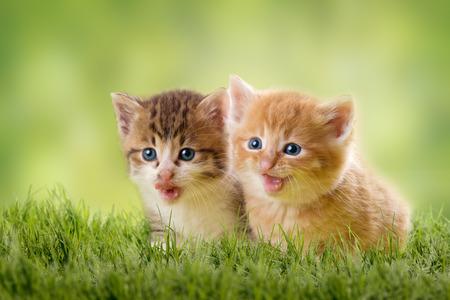 two kittens on green meadow in backlight