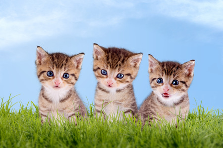 Three young kitten on a green meadow with blue sky