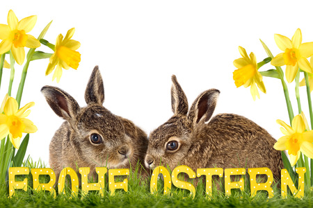 seasonally: two easter bunny sitting between daffodils isolated on white background