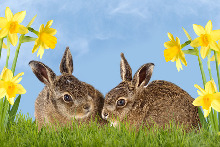 two young hare sitting in daffodils with text Happy Easter