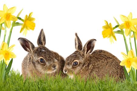 twee paashaas zitten tussen de narcissen geïsoleerd op een witte achtergrond Stockfoto