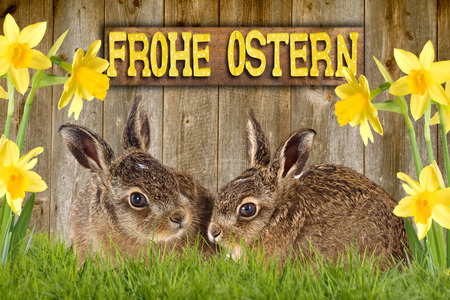 two young hare sitting between daffodils in front of a old wooden wall with shield Happy Easter Zdjęcie Seryjne