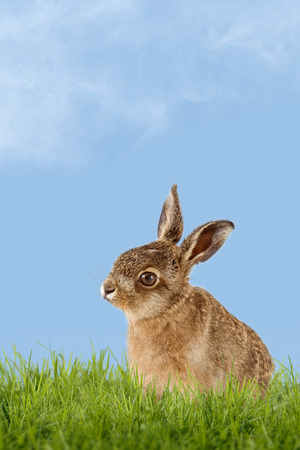 seasonally: Young Hare, Easter bunny sitting in green meadow with blue sky as background Stock Photo