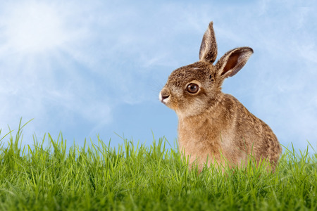 Young Hare, Easter bunny sitting in green meadow with blue sky as background Zdjęcie Seryjne