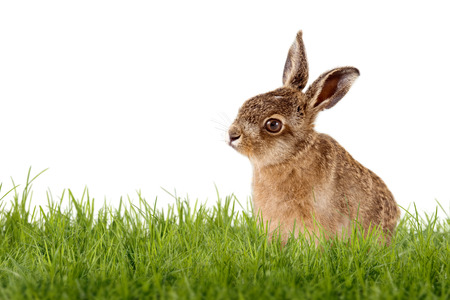Young Hare, Easter bunny sitting on green meadow isolated on white background