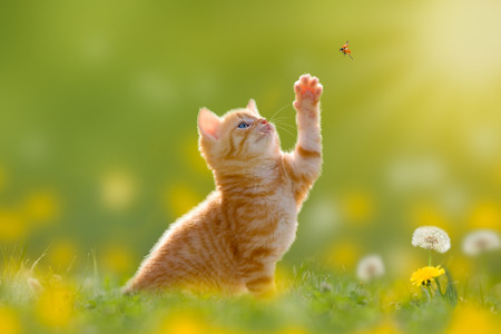 Fiatal macska  cica vadászik a katicabogár a hátsó megvilágítású