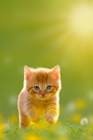 cute animal: Young cat jumps over a meadow with Back Lit