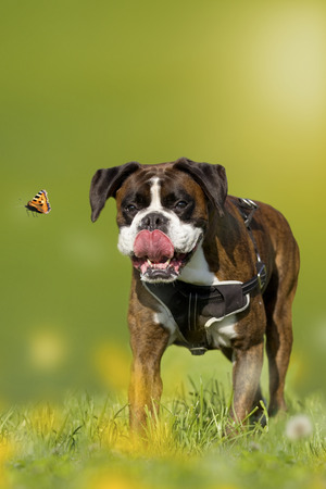 Dog, Boxer, German Boxer chasing butterfly on a meadow with dandelions