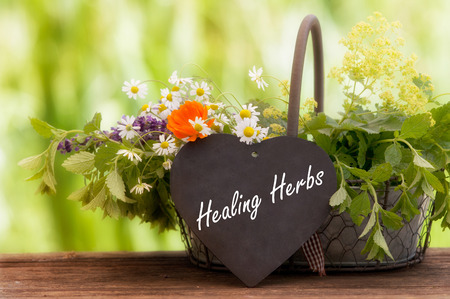 alchemilla: Medicinal herbs, Healing plants in a basket