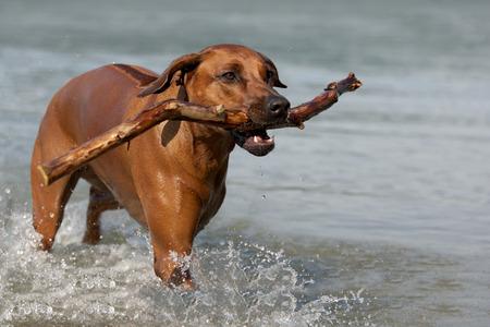 Rhodesian Ridgeback dog playing in the water