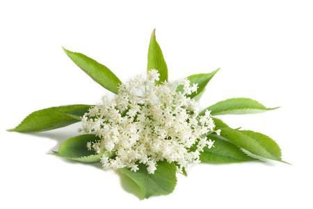 Elder virág elszigetelt fehér háttér