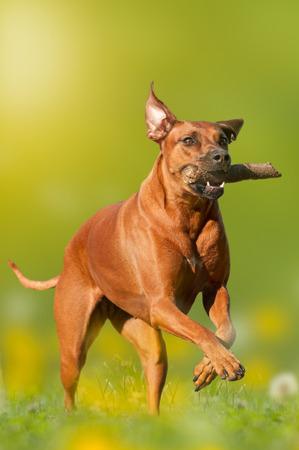 retrieves: Rhodesian Ridgeback dog retrieves