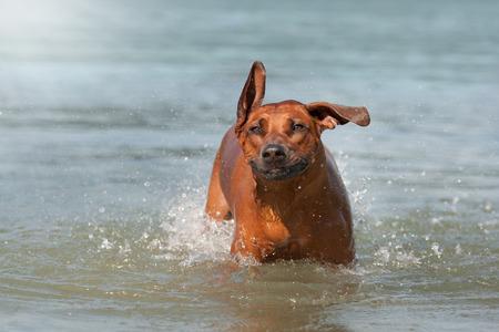 ridgeback: Rhodesian Ridgeback dog playing in the water