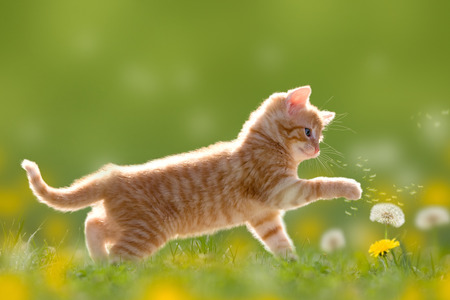 with pollen: Young cat plays with dandelion in Back light on green meadow Stock Photo