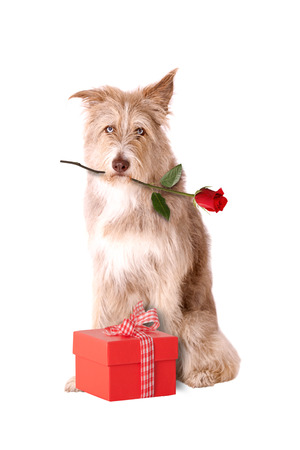 congratulations: Perro con rosa roja y el presente aislado en fondo blanco