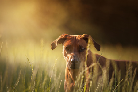 rhodesian: Rhodesian Ridgeback dog looking out of the cornfield, grass Stock Photo