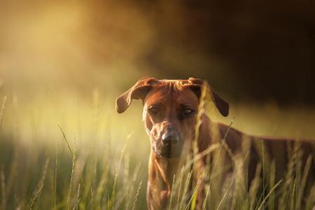 Rhodesian Ridgeback hond kijken uit het maïsveld, gras Stockfoto