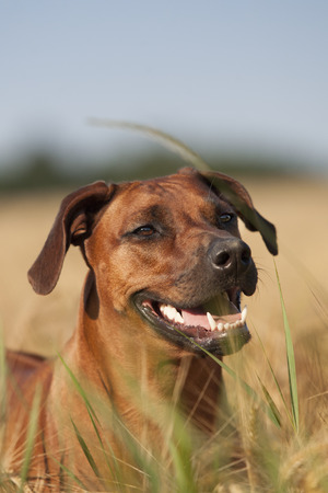 rhodesian: Rhodesian Ridgeback dog looking out the cornfield Stock Photo